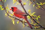 Male Northern Cardinal Posters - Cardinal in Spring Poster by Bonnie Barry