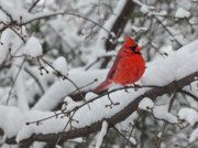 Red Leaf Framed Prints - Cardinal in the Snow 1 Framed Print by Robert Ullmann