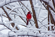 Watcher Framed Prints - Cardinal in the Snow 2 Framed Print by Barry Jones