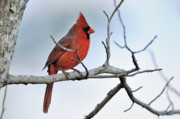 Male Northern Cardinal Framed Prints - Cardinal in Winter Framed Print by Bonnie Barry