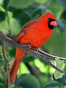 Wildlife Artwork Prints - Cardinal Print by Juergen Roth