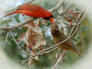 Male Cardinals Prints - Cardinal Kisses Print by DigiArt Diaries by Vicky Browning