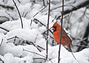 Redbird Prints - Cardinal Male 3669 Print by Michael Peychich