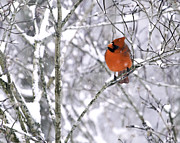 Bird Photographs Metal Prints - Cardinal Male Metal Print by Rob Travis