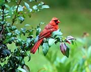 Marie Fortin - Cardinal