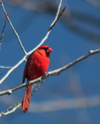 D5000 Prints - Cardinal Print by Matt Steffen