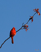 Birds - Cardinal on a Cherry Branch DSB033 by Gerry Gantt