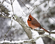 Red Bird Prints - Cardinal on Snowy Branch Print by Rob Travis