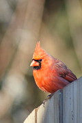Red Feather Prints - Cardinal Profile Print by Benanne Stiens