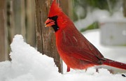 Cardinals. Wildlife. Nature. Photography Photos - Cardinal Profile by Jennifer Wosmansky