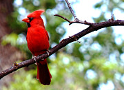Bird On Tree Prints - Cardinal Red Print by Anthony Citro