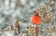 Red Birds In Snow Prints - Cardinal Reflections Print by Katie Abrams