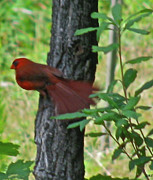 Bird On Tree Prints - Cardinal Stop By Print by Debra     Vatalaro