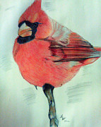 Cardinal Drawings Prints - Cardinal Study Print by Loretta Nash