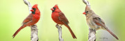 Male Cardinals Posters - Cardinal Trio Poster by Bonnie Barry