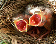 Cardinals. Wildlife. Nature. Photography Photos - Cardinal Twins - Open Wide by Al Powell Photography USA
