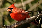 Song Bird Photos - Cardinal Up Close by Alan Lenk