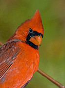 Susan Leggett Art - Cardinal With Attitude by Susan Leggett