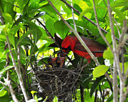 Baby Birds Posters - Cardinals Chowtime Poster by Al Powell Photography USA