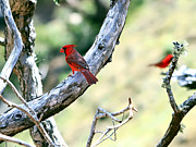 Cardinals In Kauai Print by Jeff Stein