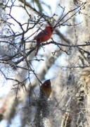 Lovebird Photos - Cardinals in Mossy Tree by Carol Groenen