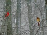 Male And Female Cardinals In Falling Snow Framed Prints - Cardinals in Snow Framed Print by Serina Wells