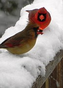 Cardinals. Wildlife. Nature. Photography Photos - Cardinals with Seed by Jennifer Wosmansky
