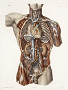 Vol Posters - Cardiovascular System, Historical Artwork Poster by