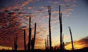 Mexican Landscapes Prints - Cardon Cacti At Sunset Print by Axiom Photographic