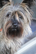 Cairn Terrier Photos - Care Bear by Sally Dougherty