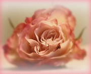 Pink Rose Prints - Caress Print by Kathy Bucari