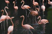 Property Posters - Caribbean Flamingoes At The Sedgwick Poster by Joel Sartore