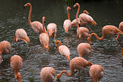 Wichita Kansas Prints - Caribbean Flamingos At The Zoo Print by Joel Sartore