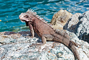 Green Monster Prints - Caribbean Iguana Print by Jim Chamberlain