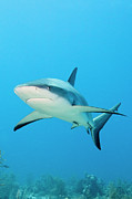 Turks And Caicos Islands Photos - Caribbean Reef Shark by Michele Westmorland