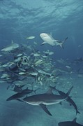 Reef Sharks Posters - Caribbean Reef Sharks And Other Fish Poster by Brian J. Skerry