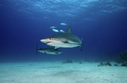 Swimming Animal Prints - Caribbean Reef Sharks Print by James R.D. Scott