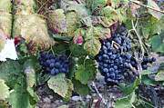 Grapevines Prints - Carignan grapes on a vine  Print by Gady Cojocaru