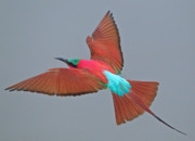 Bee In Flight Prints - Carmine bee-eater in flight Print by Johan Elzenga