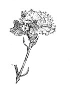 White Flower Drawings - Carnation by Christy Beckwith