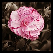 Mauve Photos - Carnation. by Mandi Ward