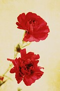 Northwest Flowers Posters - Carnations Poster by Cathie Tyler