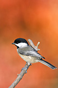 Indiana Autumn Metal Prints - Carolina Chickadee - D007812 Metal Print by Daniel Dempster