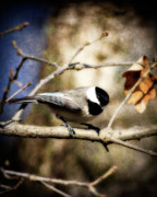 Song Birds Metal Prints - Carolina Chickadee Metal Print by Lana Trussell