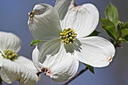 Bev Veals - Carolina Dogwood