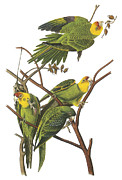 North Carolina Birds Prints - Carolina Parakeet Print by John James Audubon