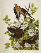 Birds With Flowers Posters - Carolina Turtledove Poster by John James Audubon