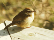Amy Tyler Prints - Carolina Wren Print by Amy Tyler
