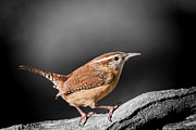 Wren Art - Carolina Wren by Bonnie Barry