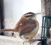 Diane Merkle Prints - Carolina Wren Print by Diane Merkle